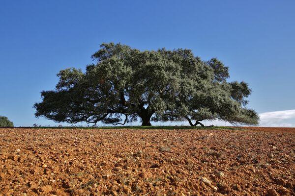 Вековой круглолистный дуб из Монто Барбейро, Португалия