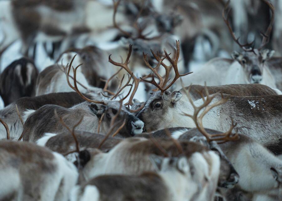 Стадо оленей в Швеции, на гронице с Норвегией.
