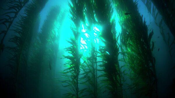Ламинария растет в прохладных водах по всему мировому океану. Ей питаются многие морские животные