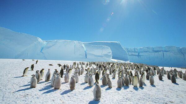 Колония императорпских пингвинов в Антарктиде