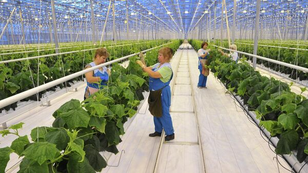 Работа тепличного агрокомплекса Чурилово в Челябинске
