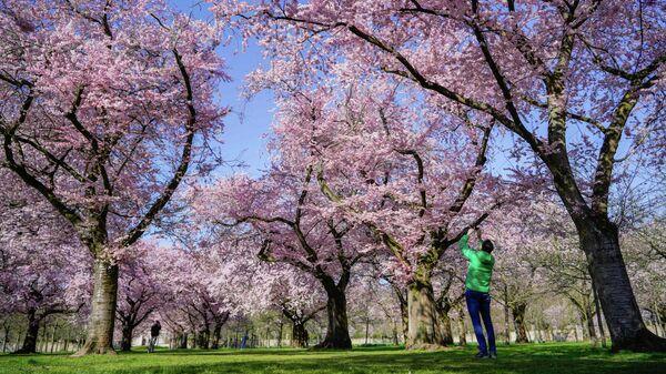 Цветение сакуры в Шветцингене, Германия