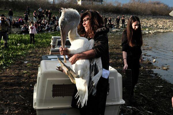 Женщина с кудрявым пеликаном, находящимся под угрозой исчезновения во время выпуска его на озеро Керкини, Греция