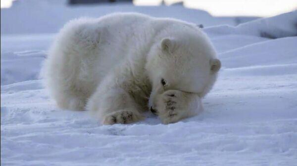 Белый медвежонок около села Рыркайпий на Чукотке