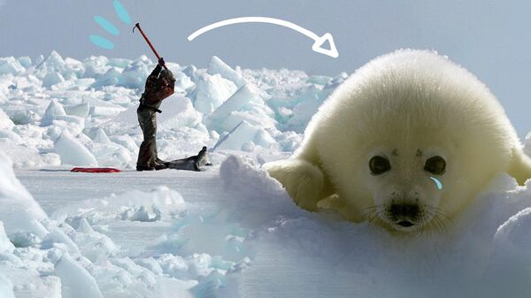 Тысячи гренландских тюленей убивают ради шуб