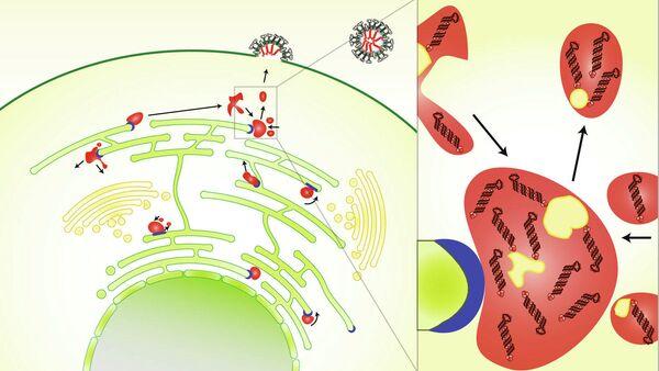 Схема того, как возникают новые частицы вируса гриппа в зараженных клетках