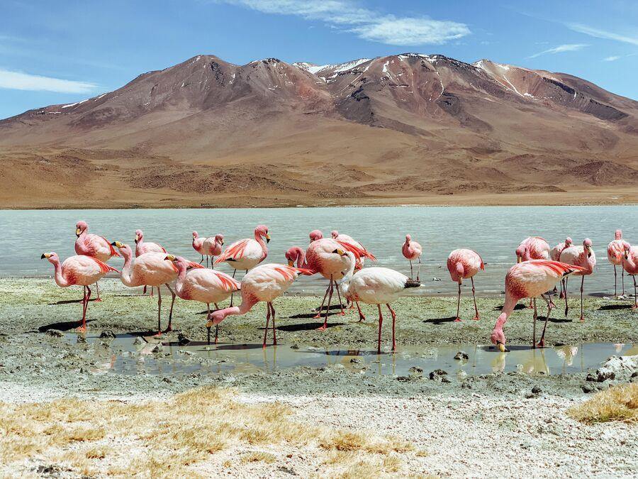 В Боливии. Фламинго на соленом озере Уюни