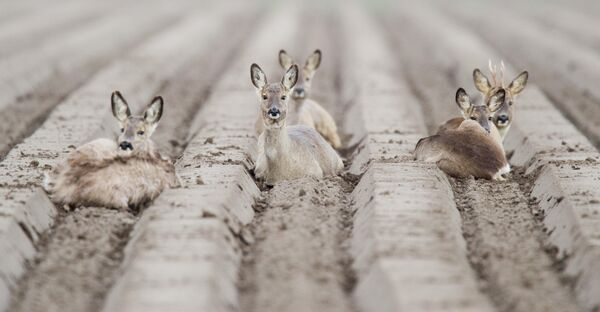 Косули отдыхают на поле возле Альгермиссена в Германии