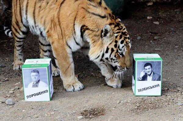 Тигр по кличке Бартек из красноярского зоопарка предсказывает исход выборов президента Украины