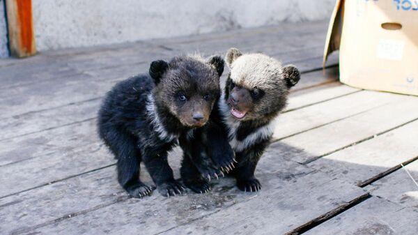 Медвежата, изъятые полицией у жителя Улан-Удэ
