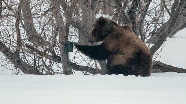 Медведь пытается уничтожить обнаруженную фотоловушку в Кроноцком заповеднике