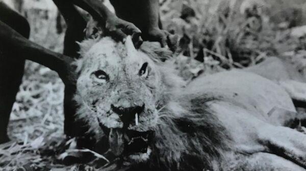 Ученые раскрыли необычную связь между дикобразами и львами-людоедами