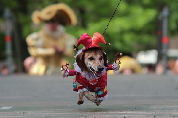 Собака породы такса на параде Такс Парад, посвященном Году театра, на Васильевском острове в саду Академии Художеств в Санкт-Петербурге