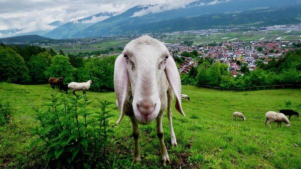 Овца на поле в Инсбруке, Австрия