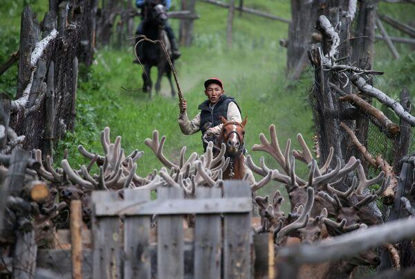 Заводчик гонит оленей из хозяйства Алатау Маралы в ущелье Касымбек, Казахстан
