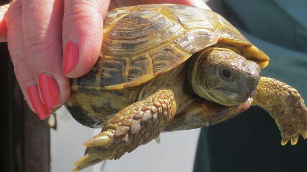 На Оренбургской таможне пресечен незаконный ввоз в Россию из Республики Казахстан партии среднеазиатских сухопутных черепах