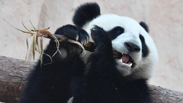 Большая панда, переданная Китаем Московскому зоопарку, в павильоне Фауна Китая. Архивное фото