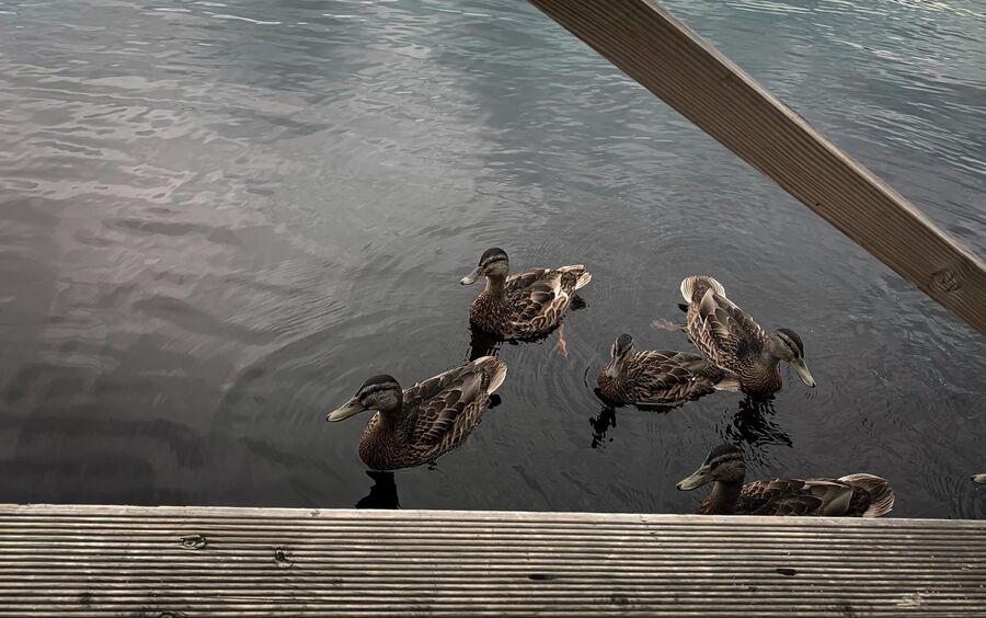 Карелия. Утки в Ладожском озере.
