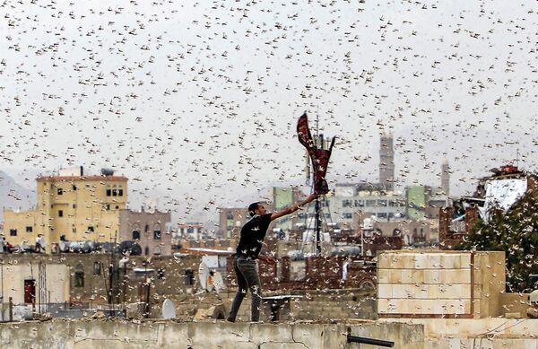 Мужчина пытается поймать саранчу над столицей Йемена