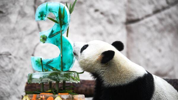 Панда Жуи во время празднования Дня рождения в Московском зоопарке