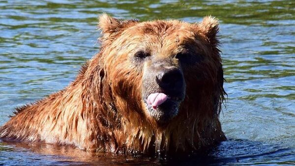 Бурый медведь в Кроноцком государственном заповеднике