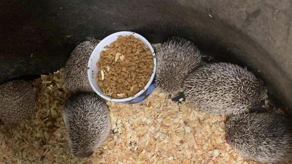 Ежи изъятые с нелегального склада животных в Ромтауне, Мичиган, США