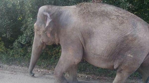 Цирковой слон, гулявший по деревне в Брестской области Белоруссии