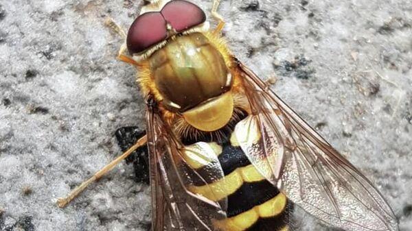 Полосатая муха с Камчатки