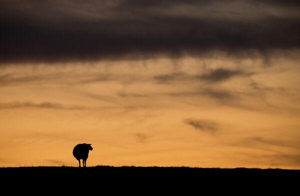 Овца пасется на поле в Хазельдорфе, Германия