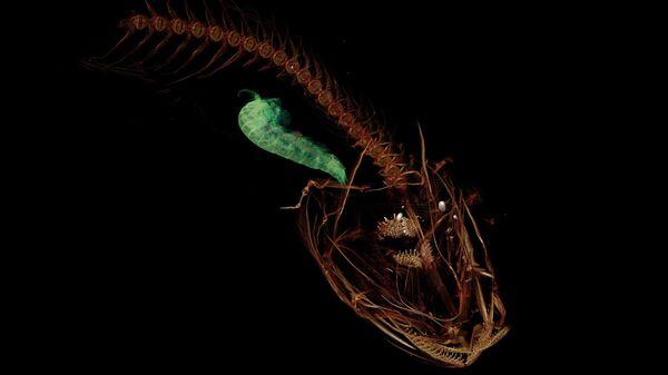 КТ-скан Pseudoliparis swirei — самой глубоководной рыбы, обитающей в Марианской впадине. В желудке у нее рачок