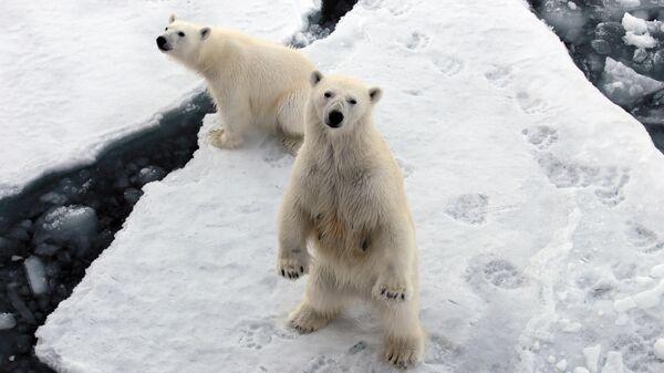 Белые медведи, Новая Земля. 15 июнь 2015