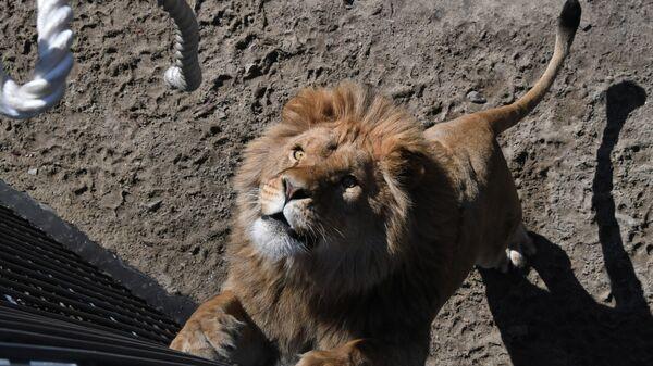 Соревнования по перетягиванию каната с участием львов в сафари-парке