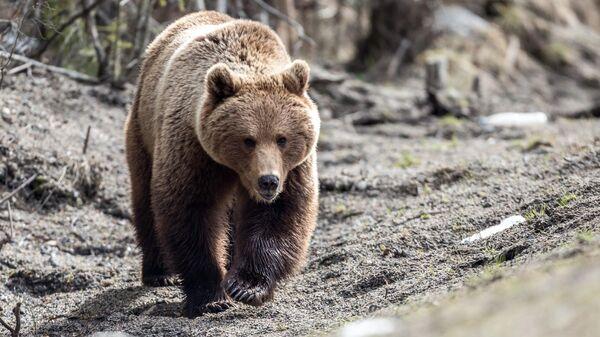 Бурый медведь после зимней спячки