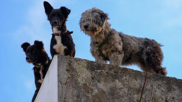 Собаки на острове Файал в Португалии. Остров входит в состав архипелага Азорские острова в Атлантическом океане