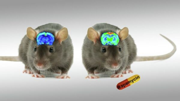 Рапамицин улучшает мозговое кровообращение у мышей
