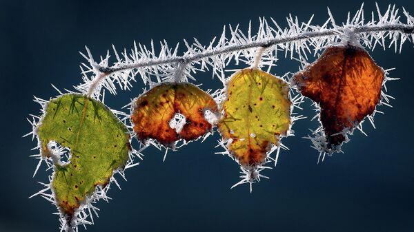 Заиндевелые листья на ветке