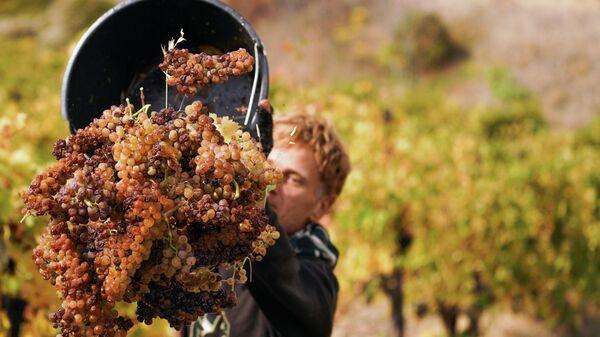 Сбор урожая на винограднике