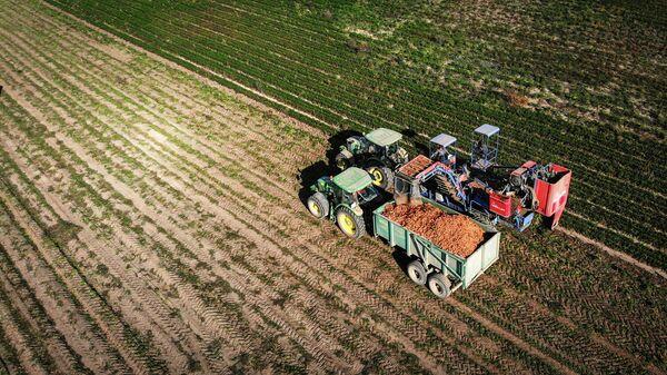 Морковоуборочный комбайн засыпает собранную на поле морковь в грузовик