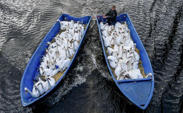 Отец лебедей Олаф Нис собирает птиц на зимовку в городе Гамбург