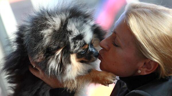 Собака породы померанский шпиц мраморного окраса на международной выставке собак в Москве