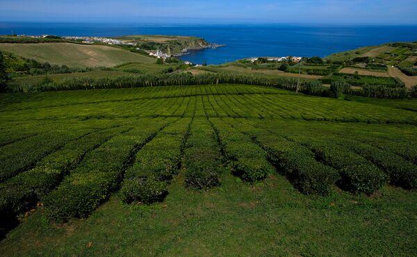 Поля чайной фабрики на острове Сан-Мигель