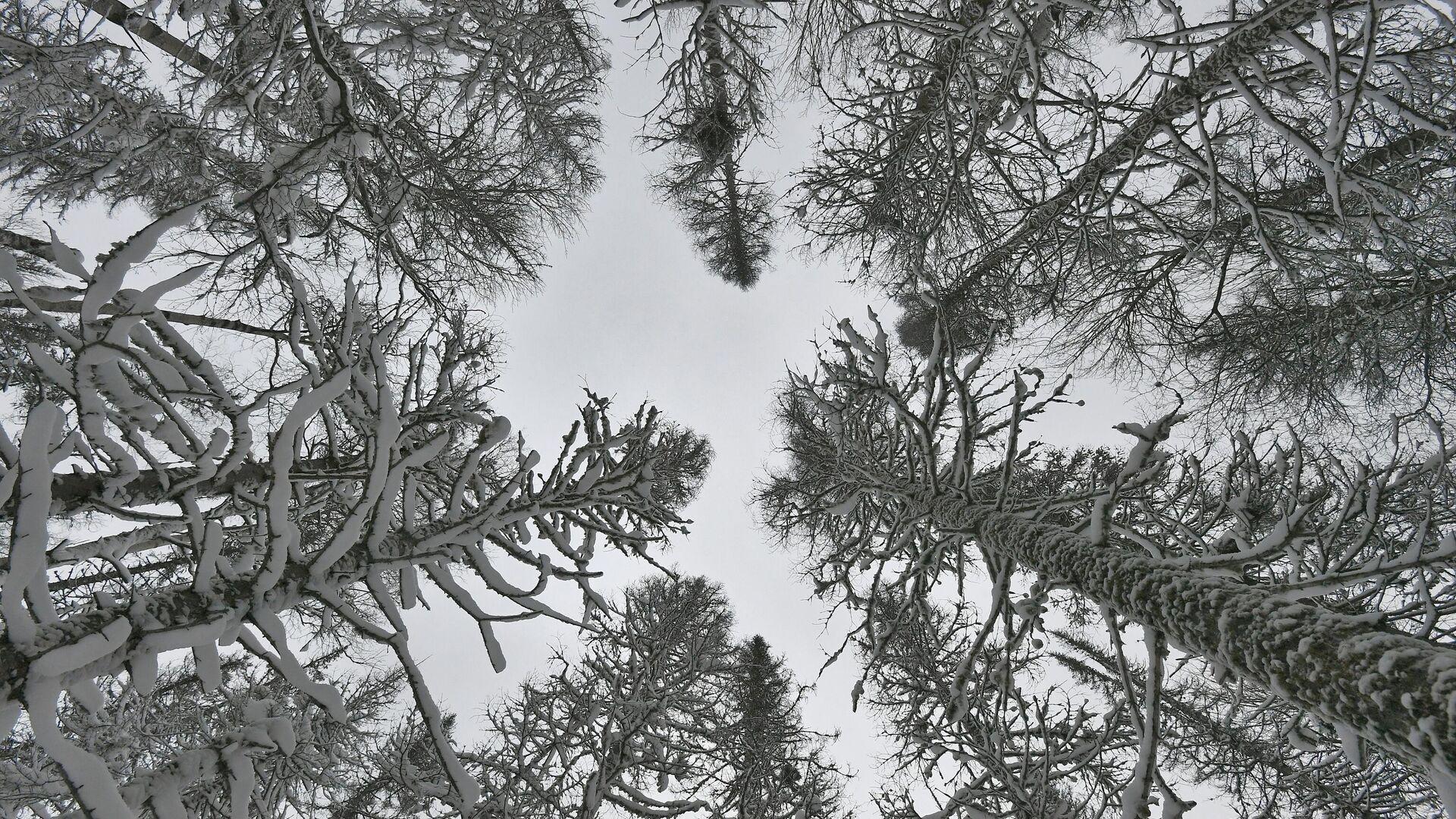 Заснеженные деревья в сибирской тайге - РИА Новости, 1920, 23.11.2020