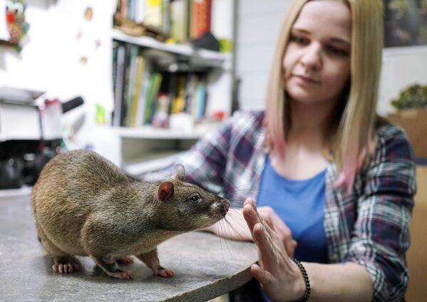 Жена зоолога Евгения Рыбалтовского - Марина с Гигантской крысой Гамби (гигансткая гамбийская хомяковая крыса) в городе Всеволожске Ленинградской области