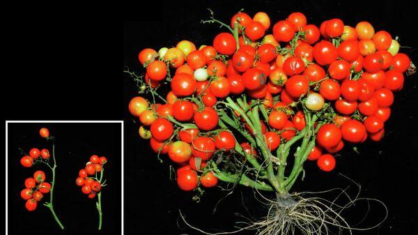 Генетически модифицированные томаты