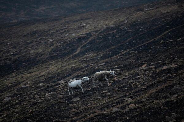 Овцы выбираются с места пожара в районе Нового Южного Уэльса, Австралия. 8 января 2020
