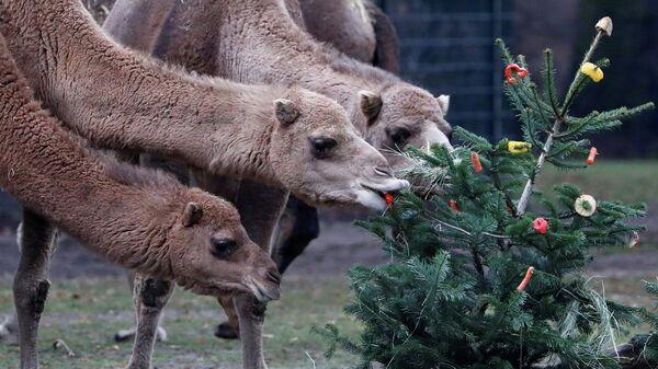 Верблюды едят праздничное угощение с елки в Берлинском зоопарке. 3 января 2020