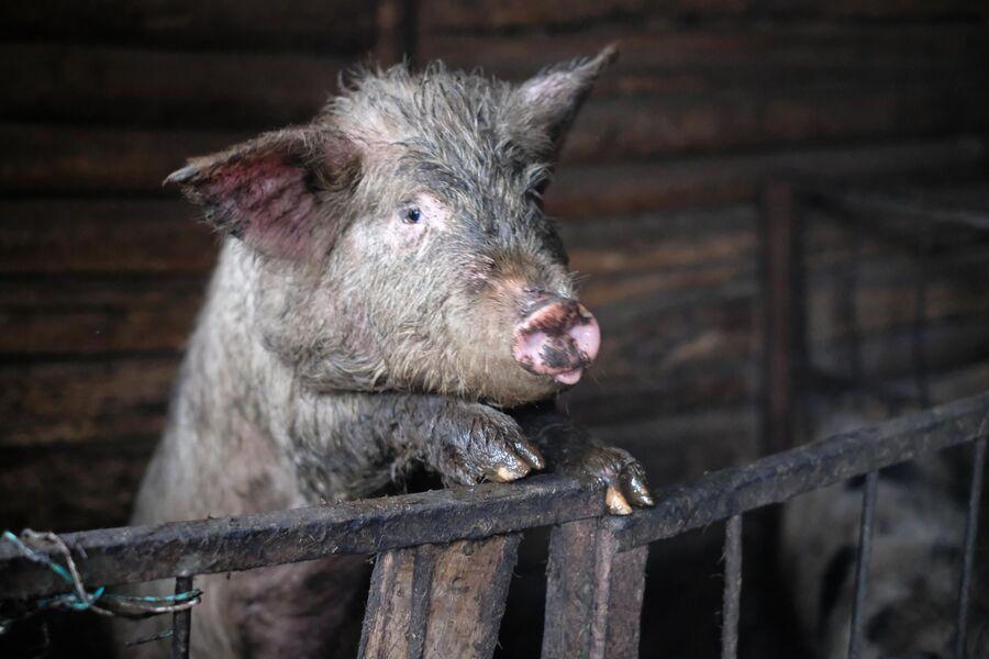 У Рыжиковых две свиньи
