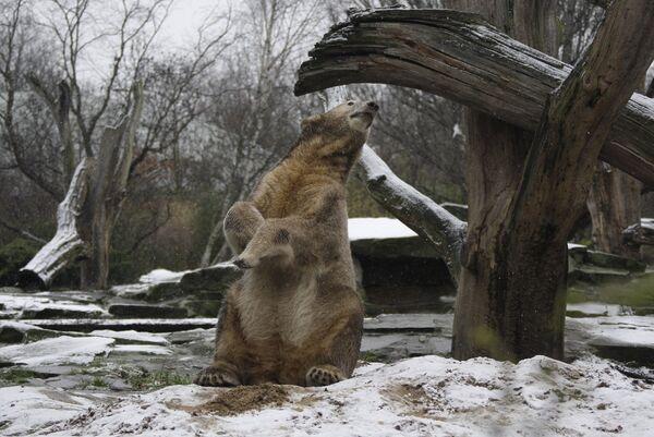 Медвежонок Кнут в Берлинском зоопарке