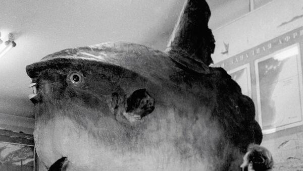 Чучело рыбы-луны. Архив