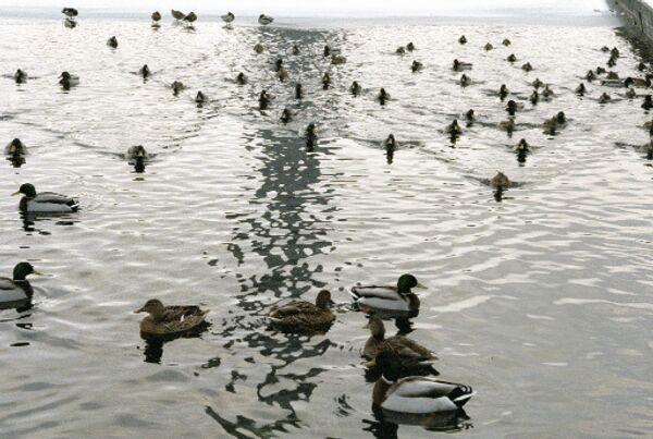 Британские ученые выяснили, что утки любят дождь